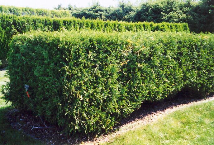 techny arborvitae thuja occidentalis techny in inver grove