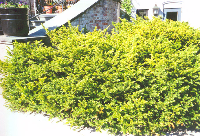 Taunton 39 s yew taxus x media 39 tauntonii 39 in st paul for Garden yew trees