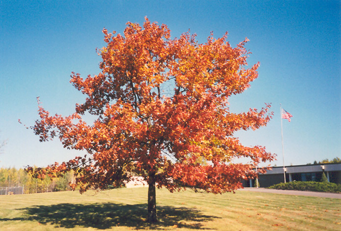 Northern Red Oak ~ Northern red oak quercus rubra in inver grove heights