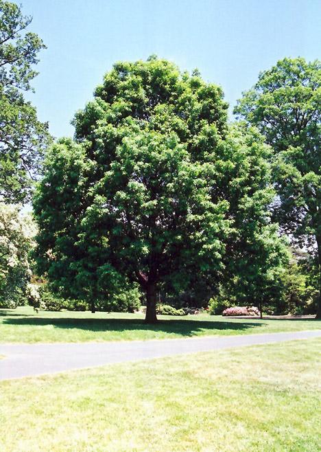White Oak (Quercus alba) in Inver Grove Heights, Minnesota ...  White Oak (Quer...