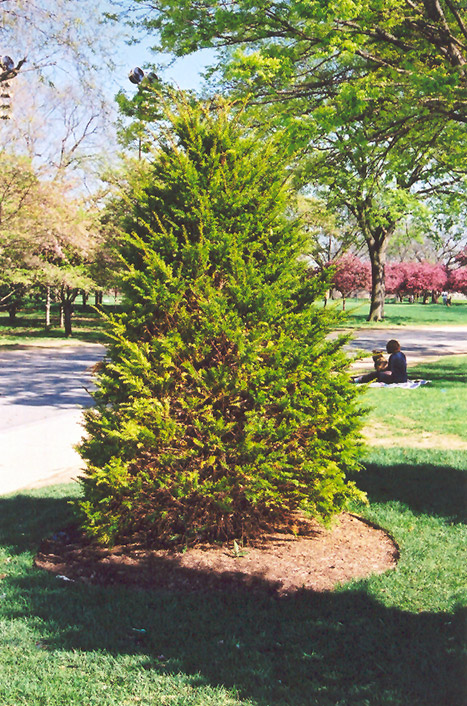 Upright japanese yew taxus cuspidata 39 capitata 39 in inver for Garden yew trees