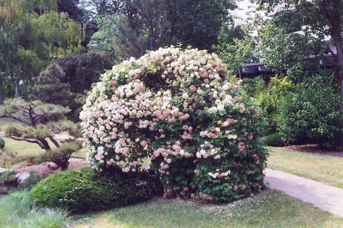 snowball viburnum viburnum opulus 39 roseum 39 in inver. Black Bedroom Furniture Sets. Home Design Ideas