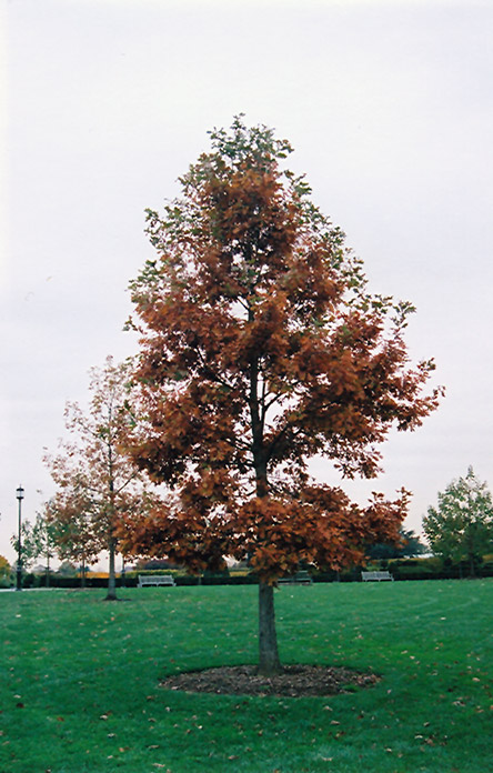 Swamp White Oak Quercus Bicolor In Inver Grove Heights