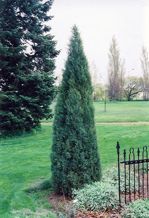 Small Cedar Varieties ~ Medora juniper juniperus scopulorum in inver