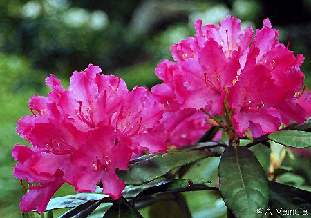 Hellikki Rhododendron Rhododendron Hellikki In St Paul