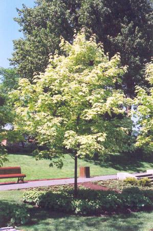 Variegated Norway Maple Acer Platanoides Variegatum In