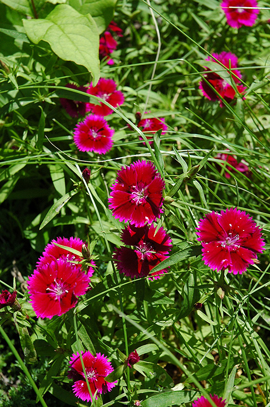 Zing Rose Pinks Dianthus Deltoides Zing Rose In Inver