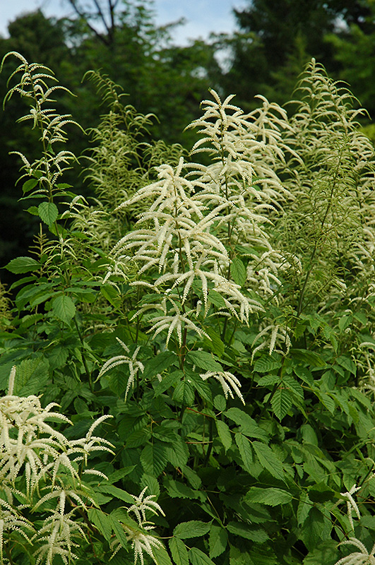 Goatsbeard Aruncus Dioicus In Inver Grove Heights