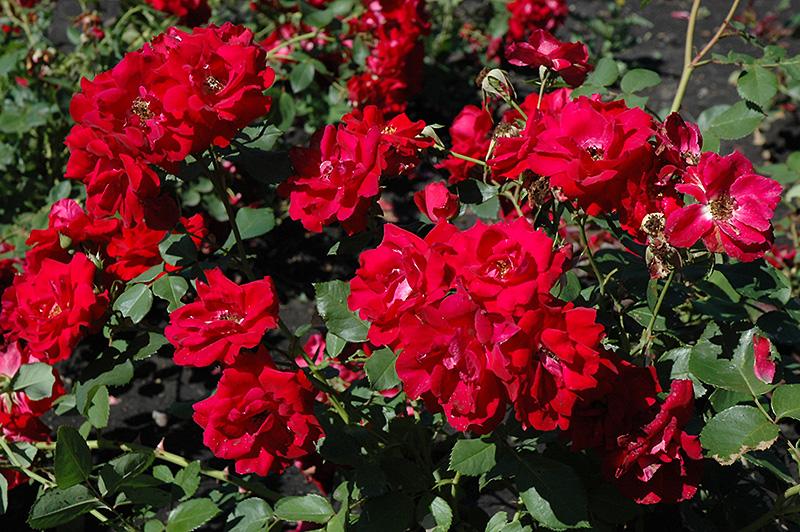 Red Velvet Rose Bush