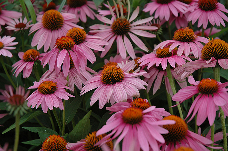 magnus coneflower echinacea purpurea 39 magnus 39 in inver. Black Bedroom Furniture Sets. Home Design Ideas