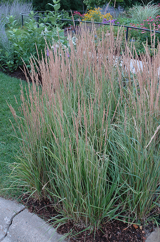 overdam reed grass calamagrostis x acutiflora 39 overdam 39 in inver grove heights minnesota mn. Black Bedroom Furniture Sets. Home Design Ideas