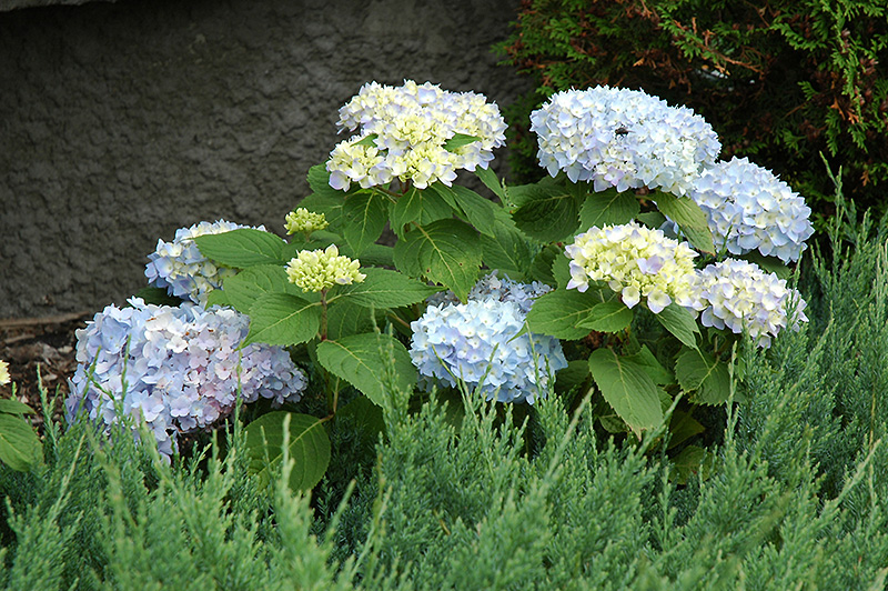 endless summer hydrangea hydrangea macrophylla 39 endless. Black Bedroom Furniture Sets. Home Design Ideas