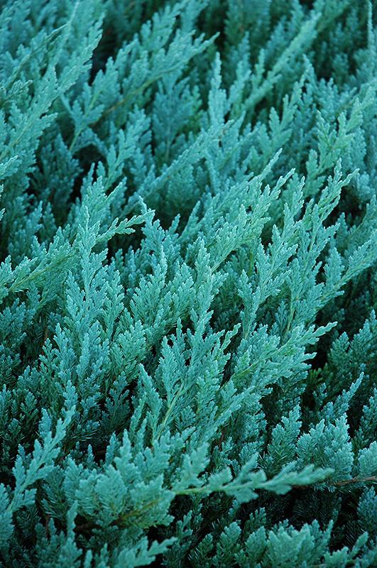 Blue Chip Juniper Juniperus horizontalis Blue Chip in