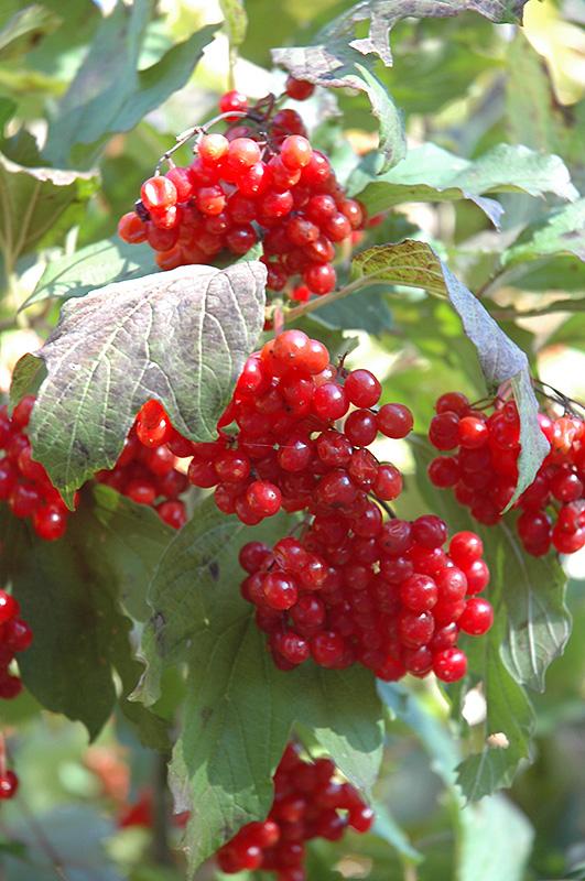 Wentworth American Cranberrybush Viburnum Trilobum
