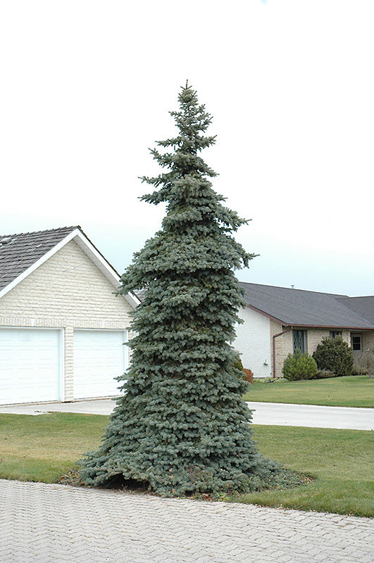 Weeping Blue Spruce Picea Pungens Pendula At Gertens