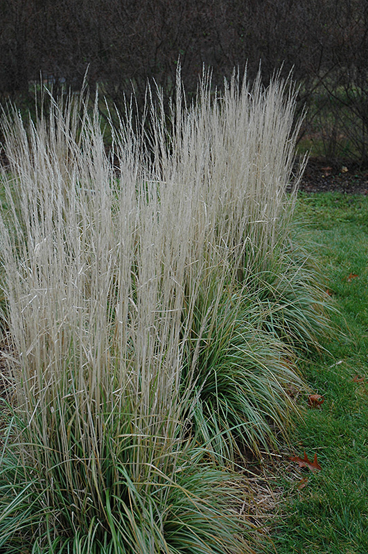 avalanche reed grass calamagrostis x acutiflora 39 avalanche 39 in inver grove heights minnesota. Black Bedroom Furniture Sets. Home Design Ideas