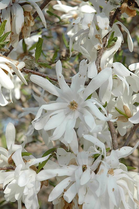 Royal Star Magnolia Magnolia Stellata Royal Star In St