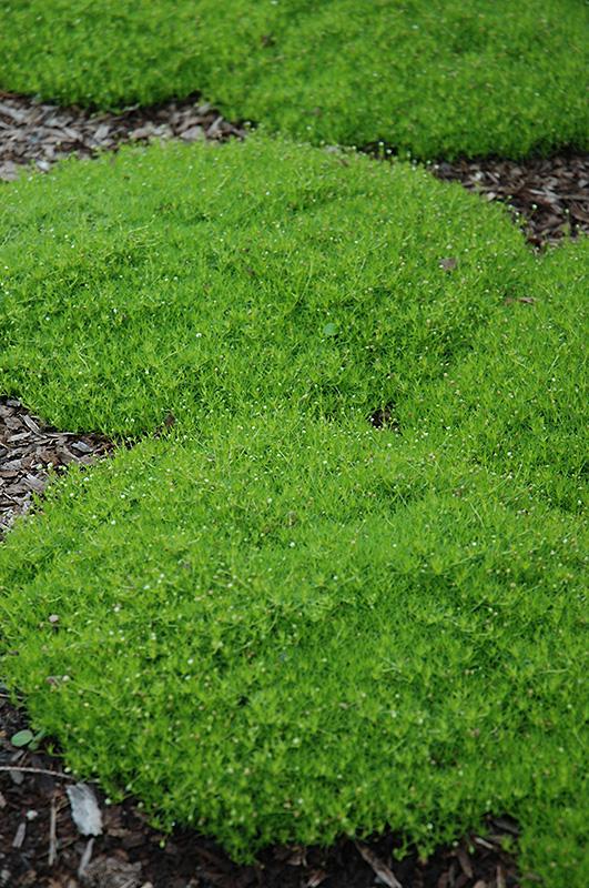 Yellow Perennial Flowers Ground Cover: Irish Moss (Sagina Subulata) In Inver Grove Heights
