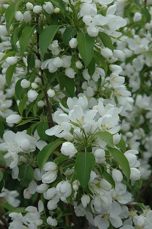 Spring Snow Flowering Crab (Malus \'Spring Snow\') in Inver Grove ...