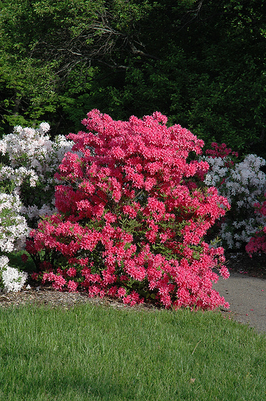 Rosy Lights Azalea Rhododendron Rosy Lights In Inver