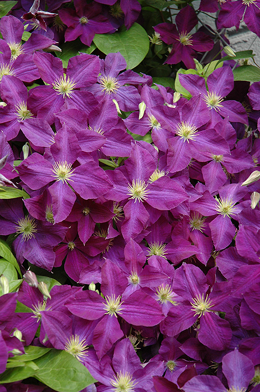 jackmanii superba clematis clematis x jackmanii 39 superba 39 in inver grove heights minnesota. Black Bedroom Furniture Sets. Home Design Ideas
