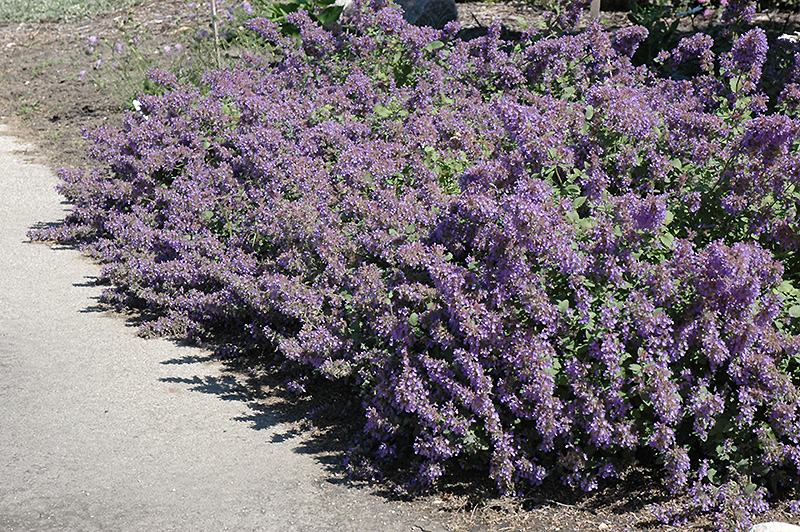 walker 39 s low catmint nepeta x faassenii 39 walker 39 s low 39 in inver grove heights minnesota mn. Black Bedroom Furniture Sets. Home Design Ideas