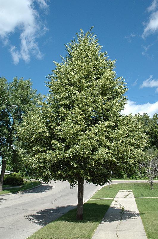 greenspire linden tilia cordata greenspire in inver