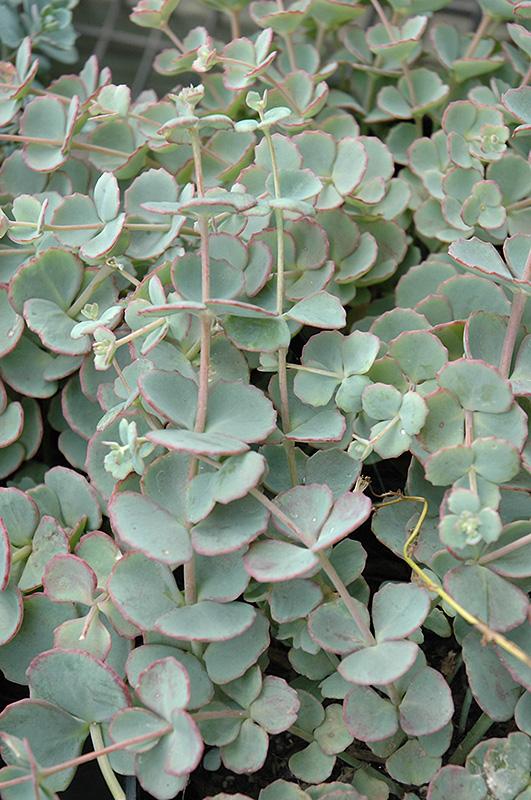 F267 16 - Plant Finder Inver Grove Heights Minnesota Mn Gertens