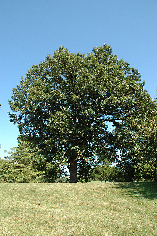 Quercus bicolor  Swamp White Oak Tree Facts amp Photos