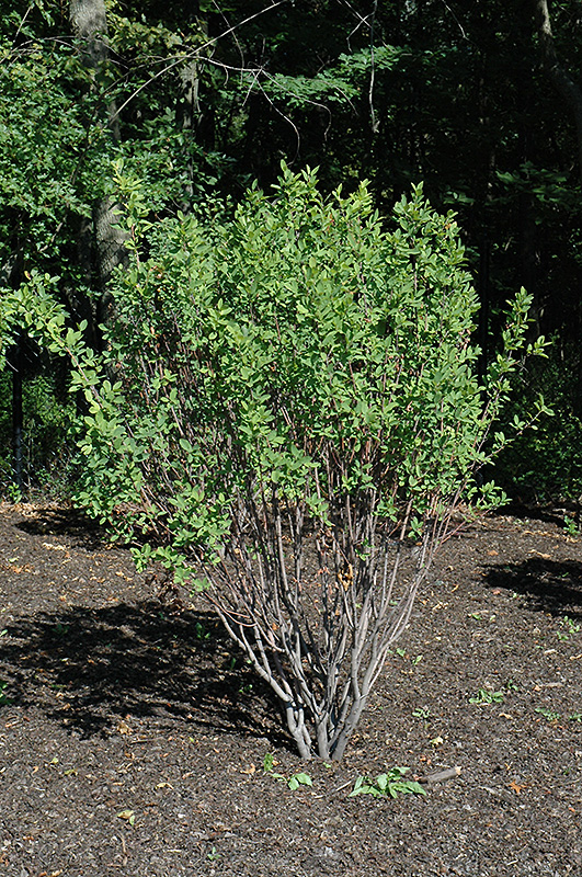 Rainbow pillar serviceberry amelanchier canadensis glennform in rainbow pillar serviceberry amelanchier canadensis glennform at gertens altavistaventures Gallery