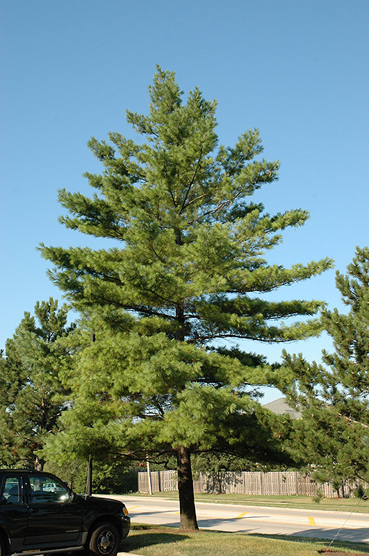 Eastern White Pine Pinus Strobus In Inver Grove Heights