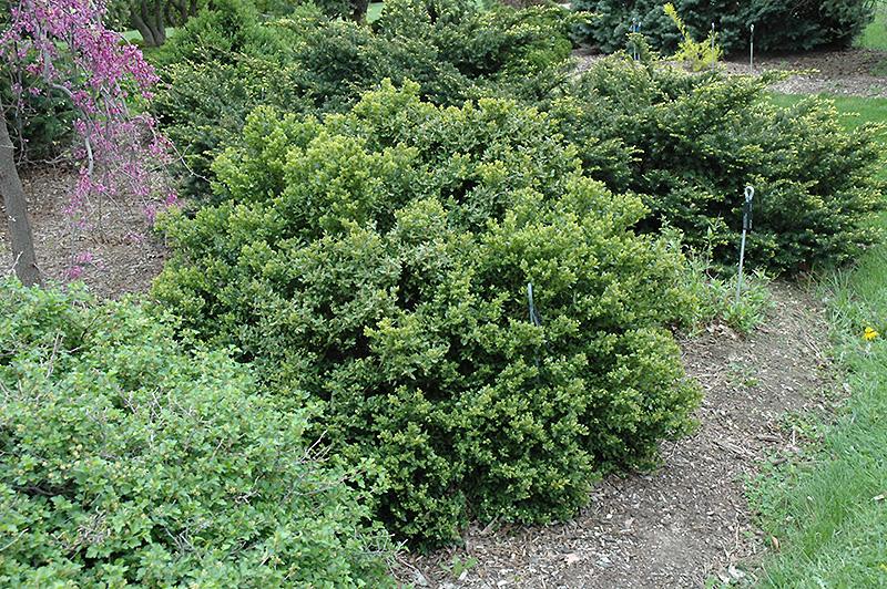 Green Velvet Boxwood Buxus Green Velvet In St Paul