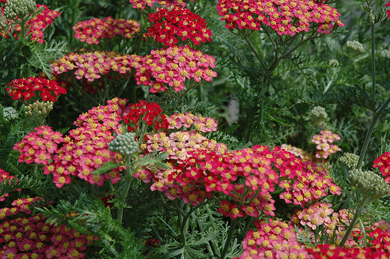paprika yarrow achillea millefolium 39 paprika 39 in inver. Black Bedroom Furniture Sets. Home Design Ideas