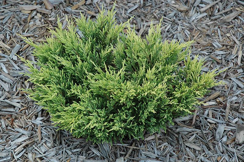 Lime Glow Juniper Juniperus Horizontalis Lime Glow In