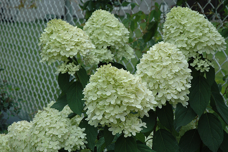 limelight hydrangea hydrangea paniculata 39 limelight 39 in. Black Bedroom Furniture Sets. Home Design Ideas