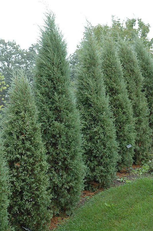 Taylor Juniper Juniperus Virginiana Taylor In Inver