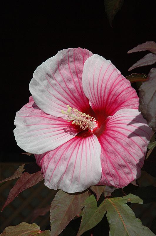 kopper king hibiscus hibiscus 39 kopper king 39 in inver. Black Bedroom Furniture Sets. Home Design Ideas