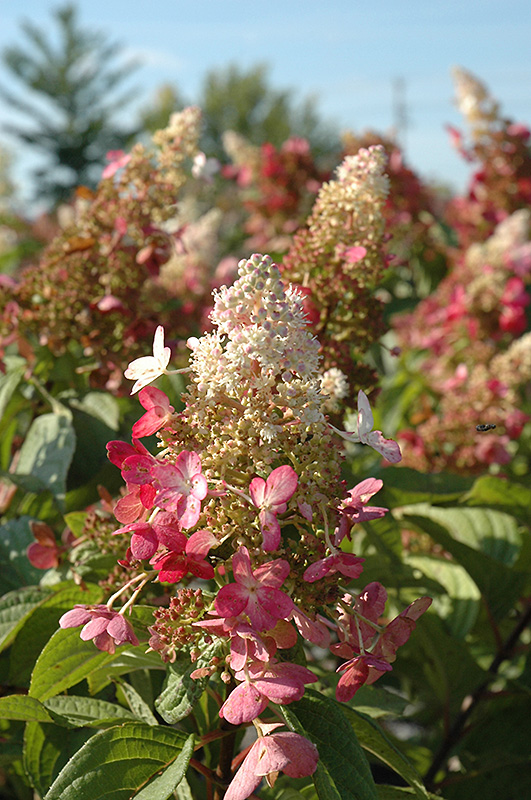pinky winky hydrangea hydrangea paniculata 39 dvppinky 39 in. Black Bedroom Furniture Sets. Home Design Ideas