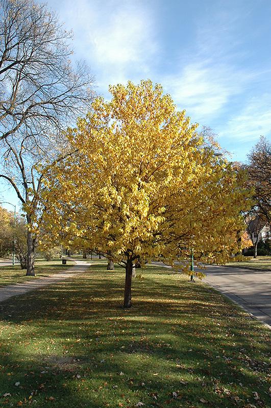 Spring Grove Mn >> Amur Chokecherry (Prunus maackii) in Inver Grove Heights, Minnesota (MN) at Gertens
