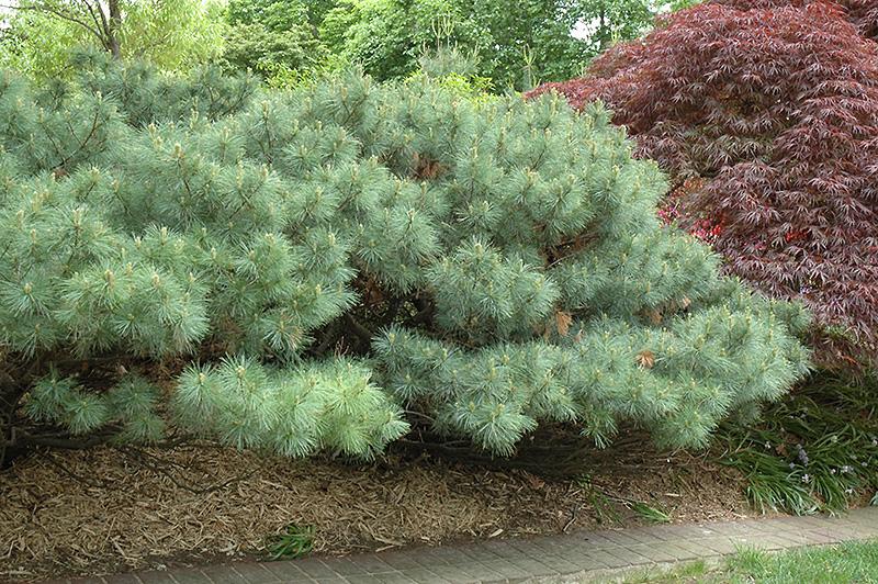 Dwarf White Pine (Pinus strobus 'Nana') in Inver Grove ...