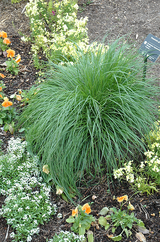 Hameln dwarf fountain grass pennisetum alopecuroides for Fountain grass