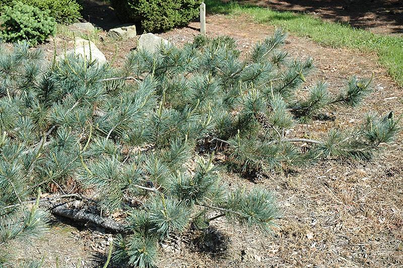 Weeping Blue Limber Pine Pinus Flexilis Glauca Pendula