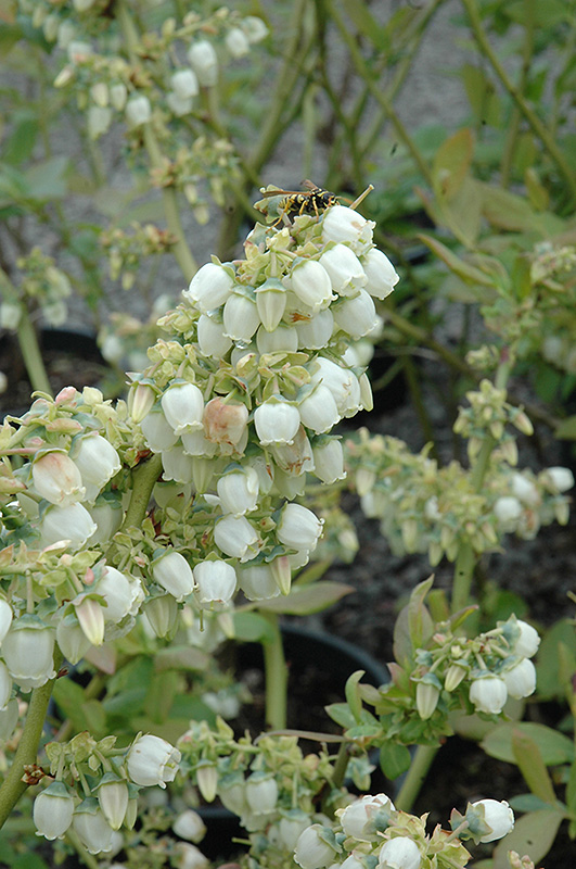 Blue Ray Blueberry Vaccinium Corymbosum Blueray In