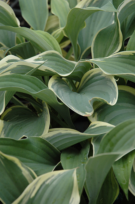 Regal Splendor Hosta (Hosta \'Regal Splendor\') in Inver Grove Heights ...