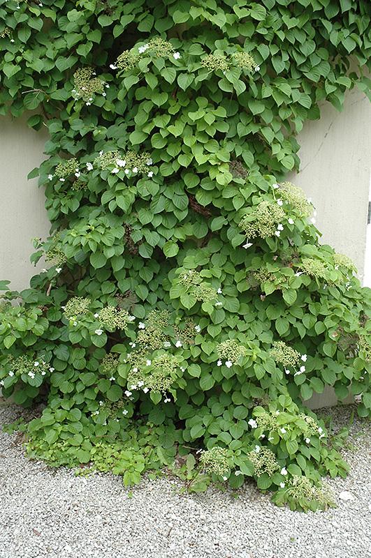 Climbing hydrangea hydrangea anomala 39 var petiolaris - Hydrangea petiolaris ...