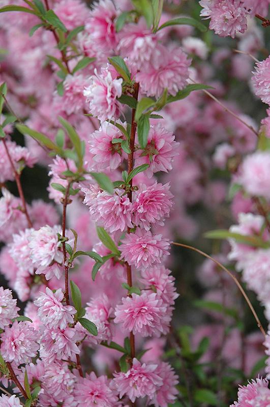 Double pink flowering almond prunus glandulosa rosea plena in double pink flowering almond prunus glandulosa rosea plena at gertens mightylinksfo Images
