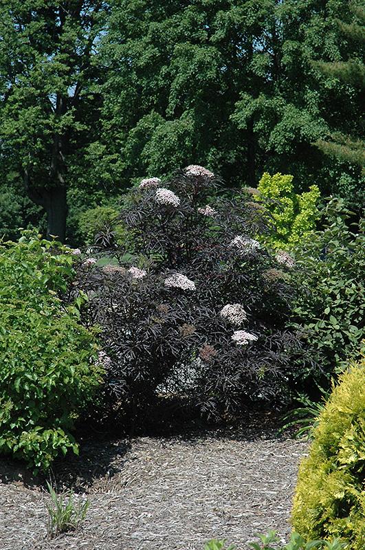 black lace elder sambucus nigra 39 eva 39 in inver grove. Black Bedroom Furniture Sets. Home Design Ideas