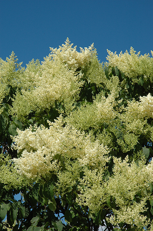 Japanese Tree Lilac Syringa reticulata in Inver Grove