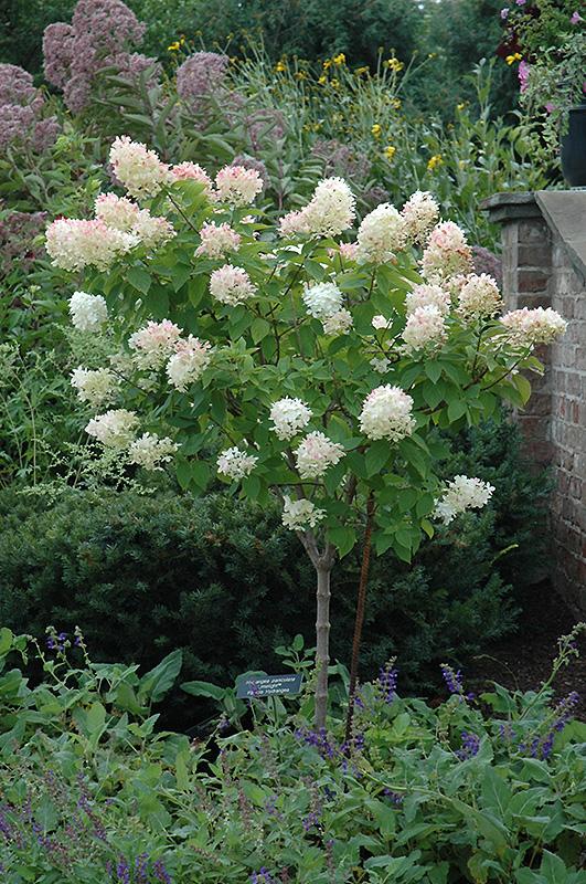 Limelight Hydrangea (tree form) (Hydrangea paniculata 'Limelight ...