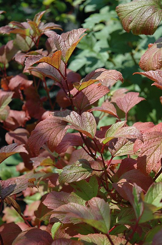 Redwing Highbush Cranberry Viburnum Trilobum Jn Select